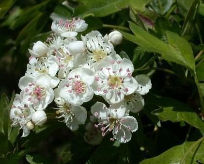 galagonya virágos ágvég